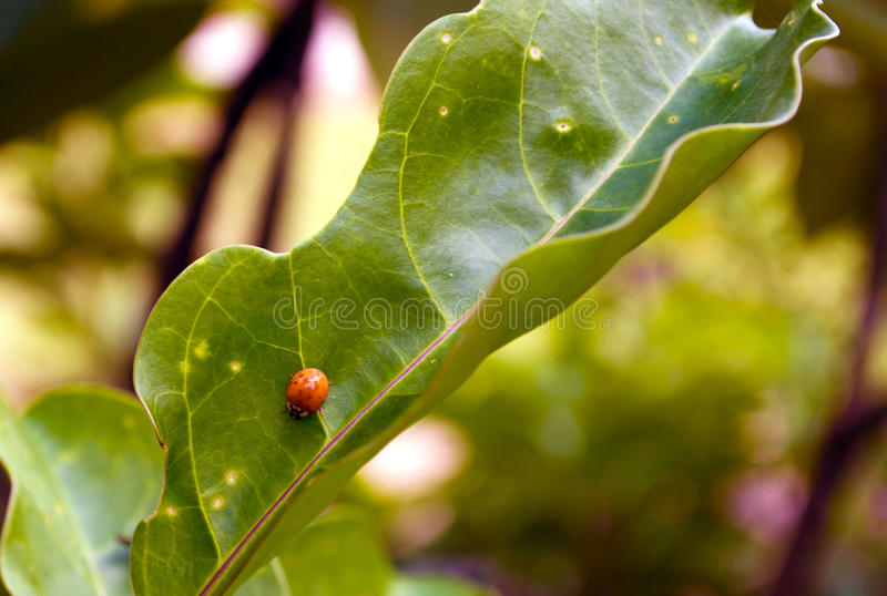Lady bug on a leaf royalty free stock photography