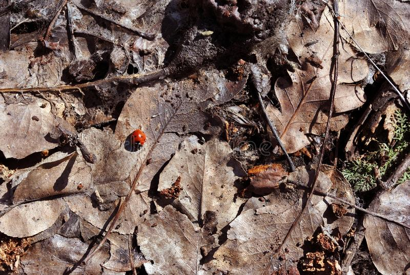 Lady bug sitting on dry brown leaves, close up detail. Top view royalty free stock image