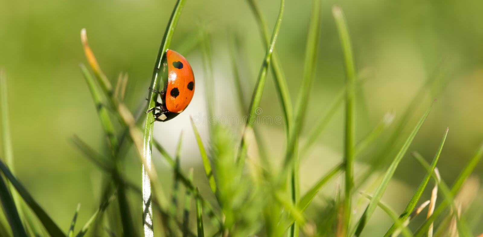 Download Lady Bug In A Spring Garden Stock Photo - Image: 23985126