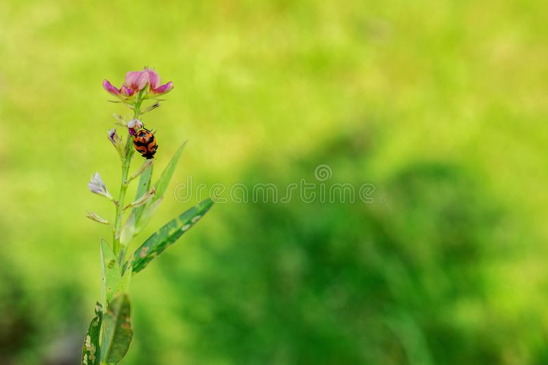 Lady Bug on Pink Flower royalty free stock photo