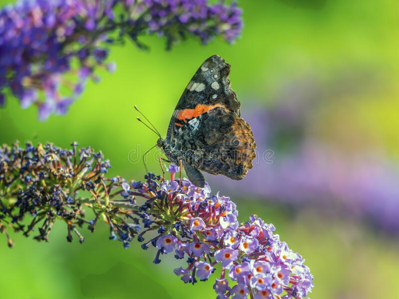 Lady Butterfly dipinta immagine stock