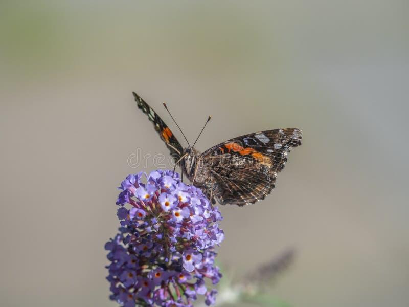 Lady Butterfly dipinta fotografia stock libera da diritti