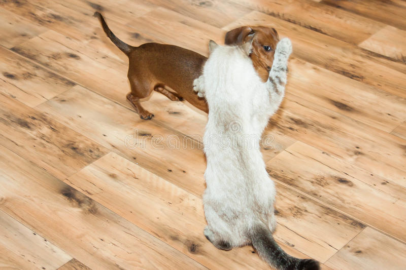 Lady-cat of the Thai breed and dog rate play stock images