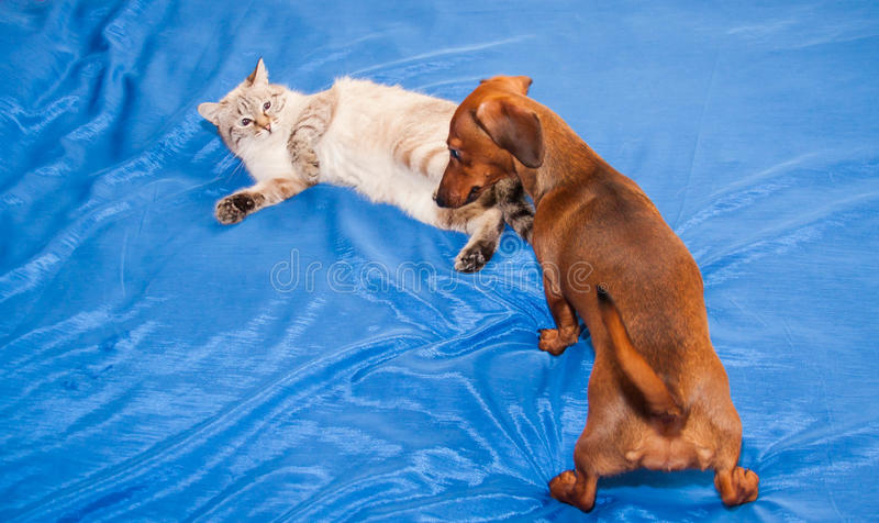 Lady-cat of the Thai breed and dog rate play royalty free stock photos