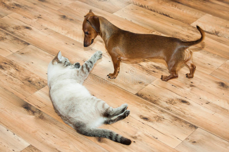 Lady-cat of the Thai breed and dog rate play stock photo