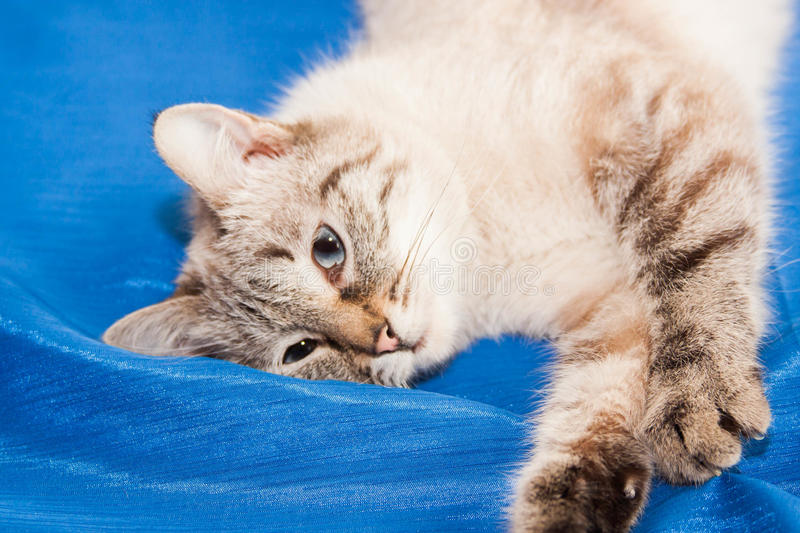 Lady-cat of the Thai breed stock image