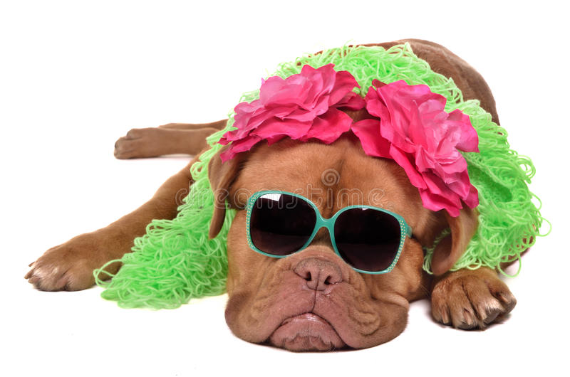 Lady dog wearing glasses and boa royalty free stock photography