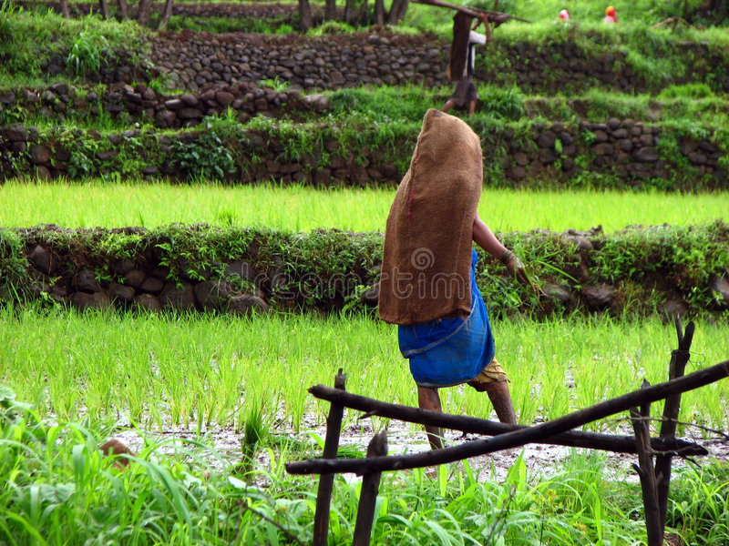 Lady in Farms. A lady farmer working in the paddy fields of India royalty free stock photo