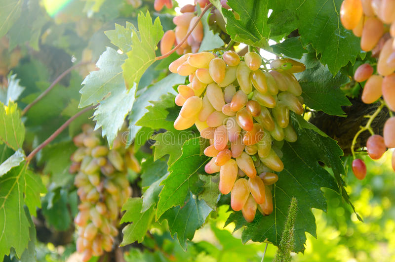 Lady Finger Grapes stock image. Image of objects, drink ...