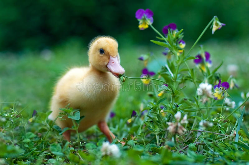 Download Lady Gaga stock image. Image of lady, young, duck, yellow - 39503913