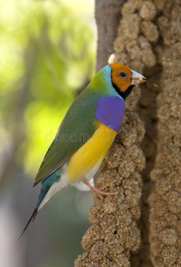 Lady Gouldian Finch stock images