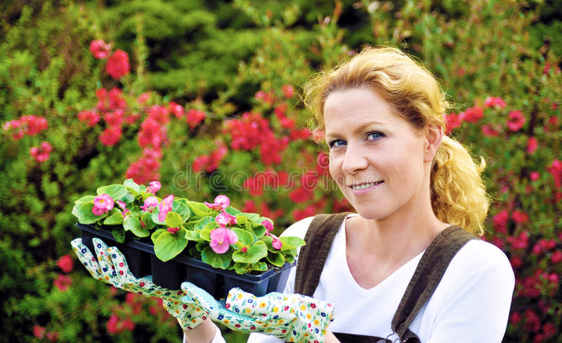 Young woman gardening, holding young flower plants, container-grown plant, woman planting begonia seedlings in garden royalty free stock photos