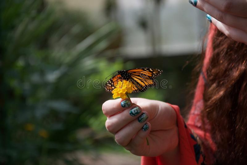 Orange, black and white butterfly with open wings on a flower in a lady`s hand. A lady with painted nails holds a small yellow flower with an orange, yellow royalty free stock image
