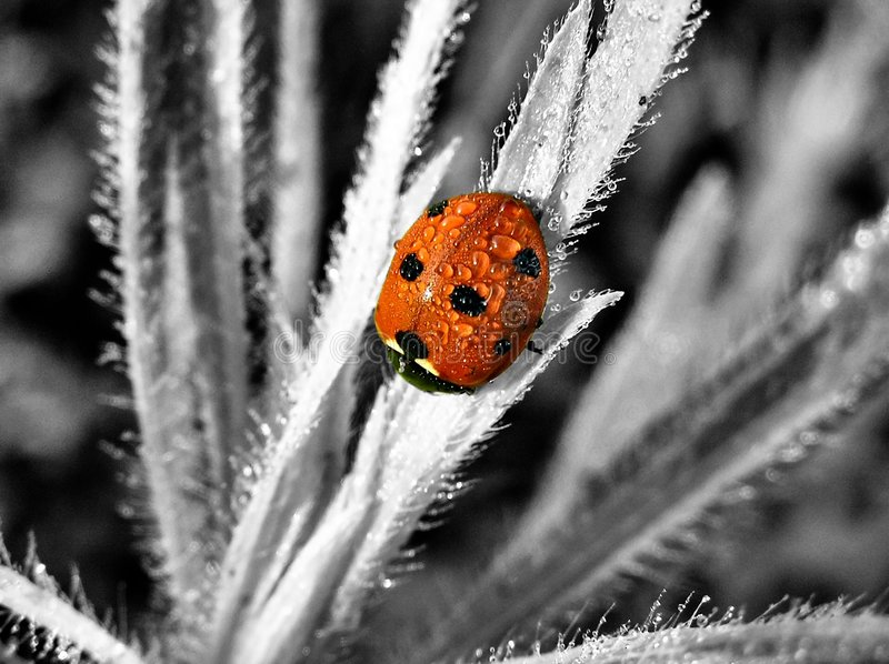 Lady in Red. Greyscaled background with the ladybug in original color stock image