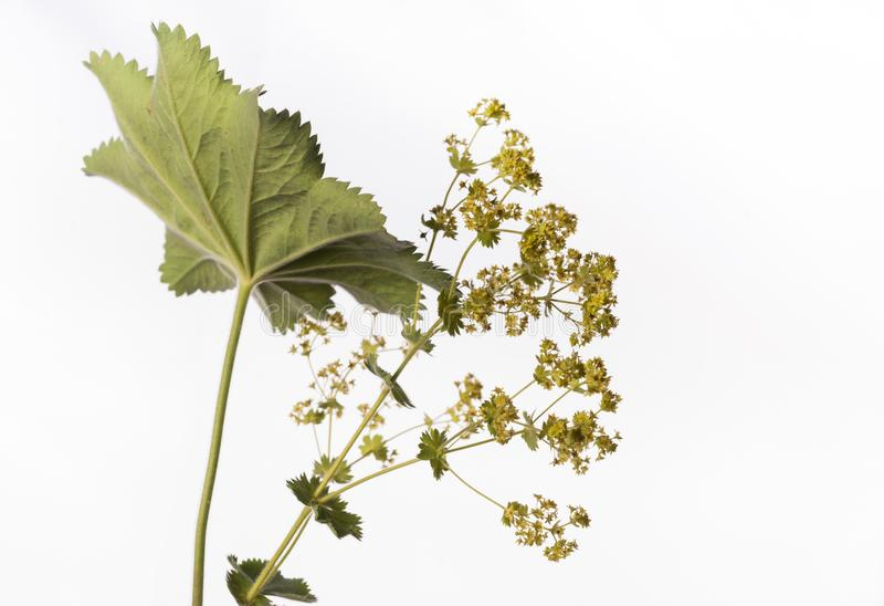 Lady`s Mantle - Alchemilla mollis or Alchemilla vulgaris. Isolated lady`s mantle also known as Alchemilla mollis or Alchemilla vulgaris is displayed in image on stock photo