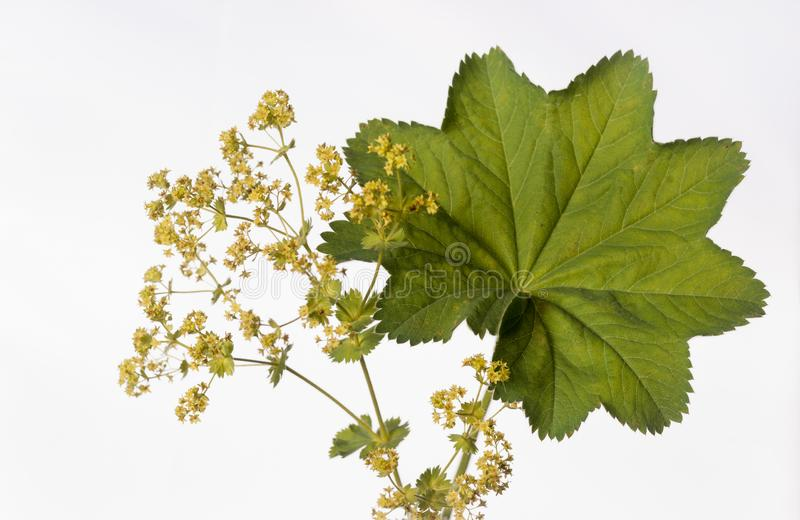 Lady`s Mantle - Alchemilla mollis - Herbal Medicine. Isolated lady`s mantle also known as Alchemilla mollis or Alchemilla vulgaris is displayed in image on a royalty free stock image