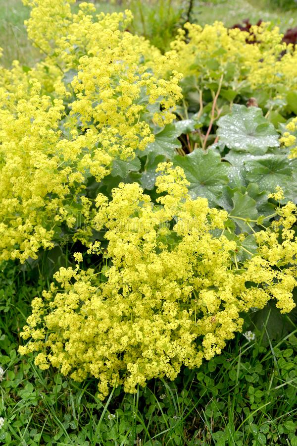 Lady`s mantle Alchemilla vulgaris L.. Inflorescences.  royalty free stock photo