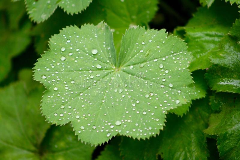 Lady's-mantle with raindrops royalty free stock image
