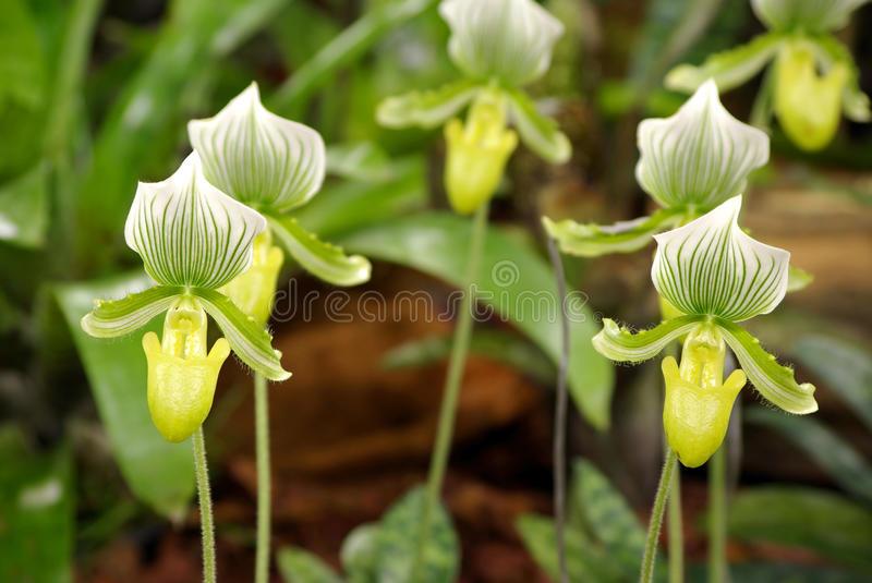 Lady's slipper orchid royalty free stock photography