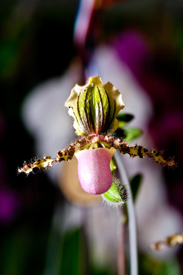 Download Lady's slipper orchid stock image. Image of education - 22614185