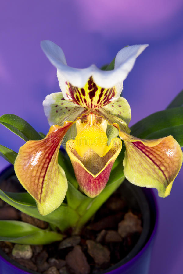 Download Lady's slipper orchid stock photo. Image of head, botany - 29068764