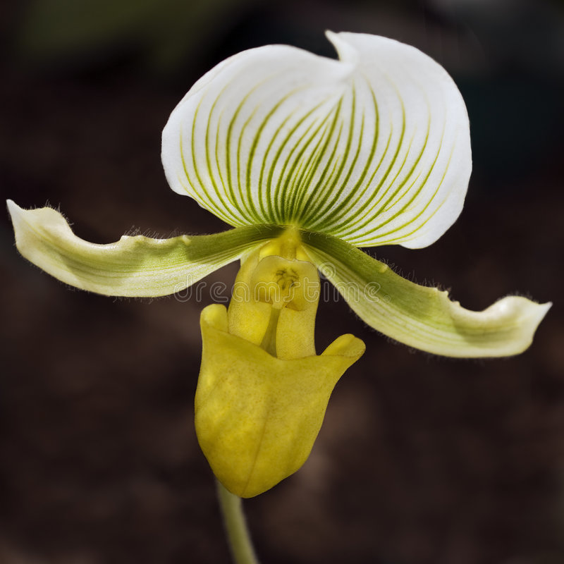 Download Lady's Slipper Orchid stock photo. Image of bloom, petals - 7660608