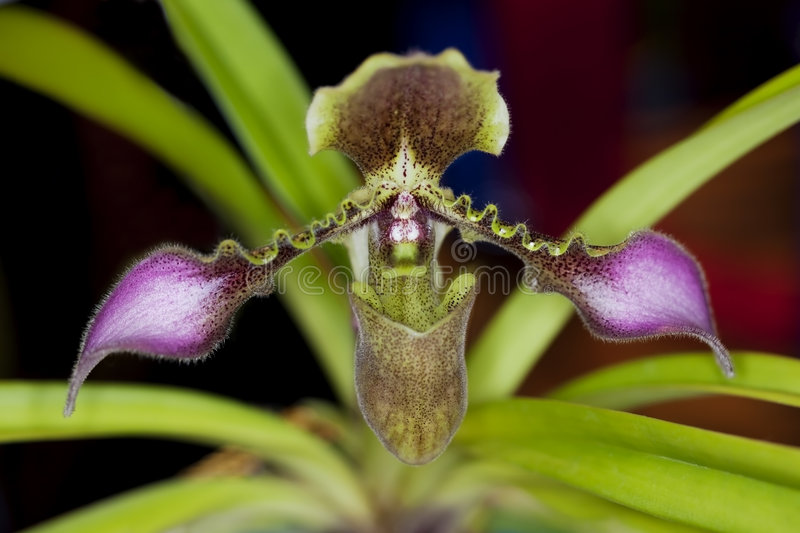 Download Lady's Slipper Orchid stock image. Image of colorful, rare - 8633077