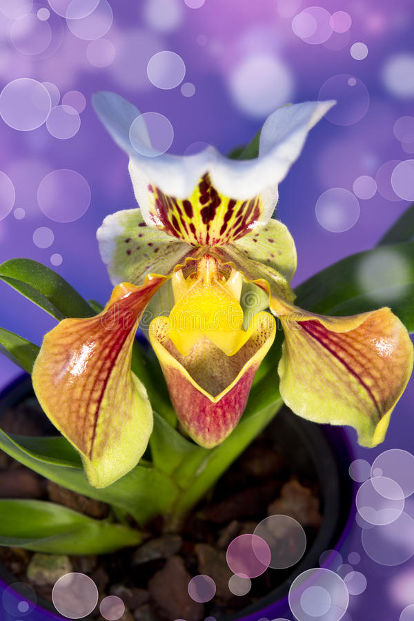 Download Lady's Slipper Orchid Isolated Stock Photo - Image: 29228130