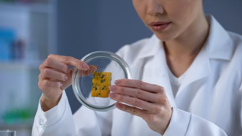 Lady scientist examining cheese sample in petri dish, poor quality food check. Stock photo royalty free stock photos