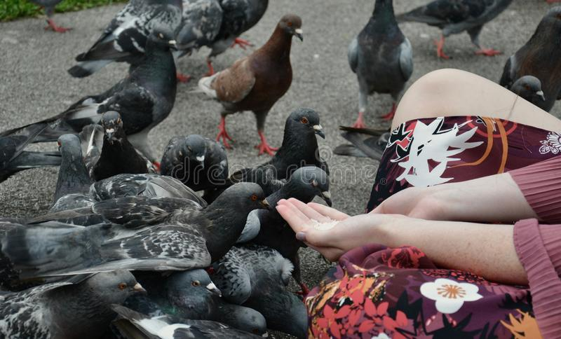 A lady hand feeding pigeons royalty free stock image