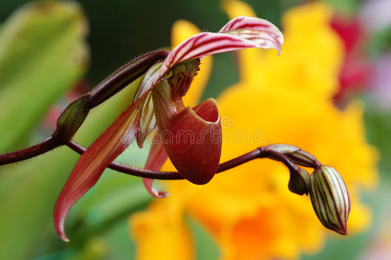 Download Lady slipper (orchid) stock image. Image of botanical - 2262051