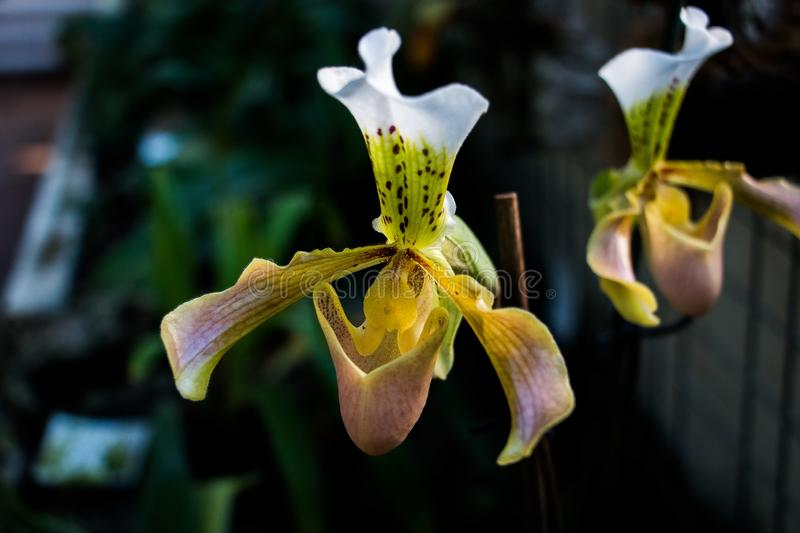 Lady slipper orchid, Cypripedioideae Paphiopedilum, in foreground royalty free stock photo