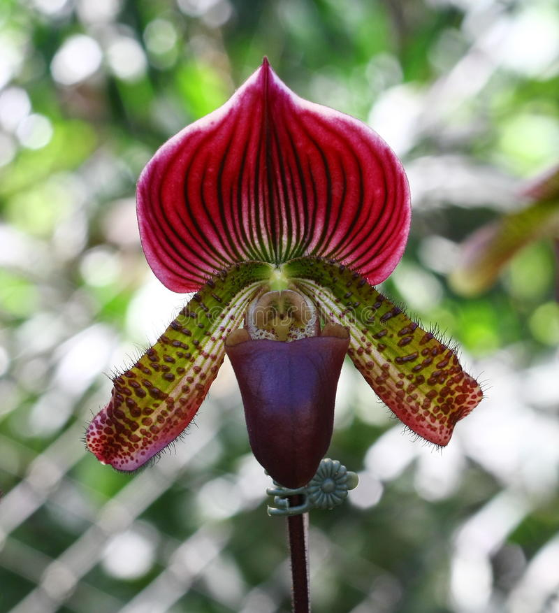 Free Lady Slipper Orchid Paphiopedilum Royalty Free Stock Photography - 36225127