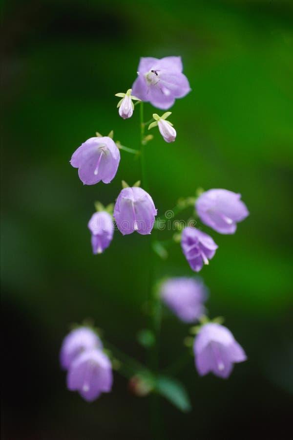 ladybell arkivfoton