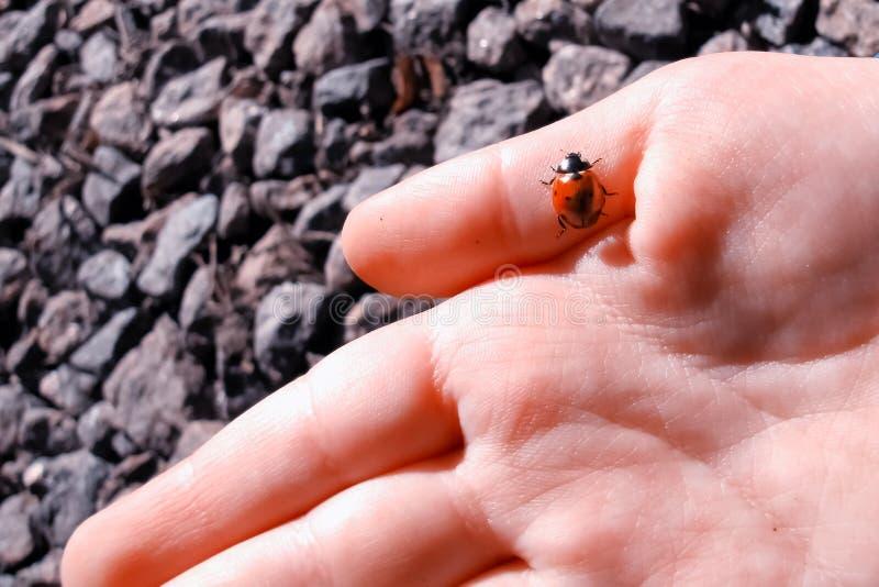 Ladybird вползая на руке ребенка стоковое фото