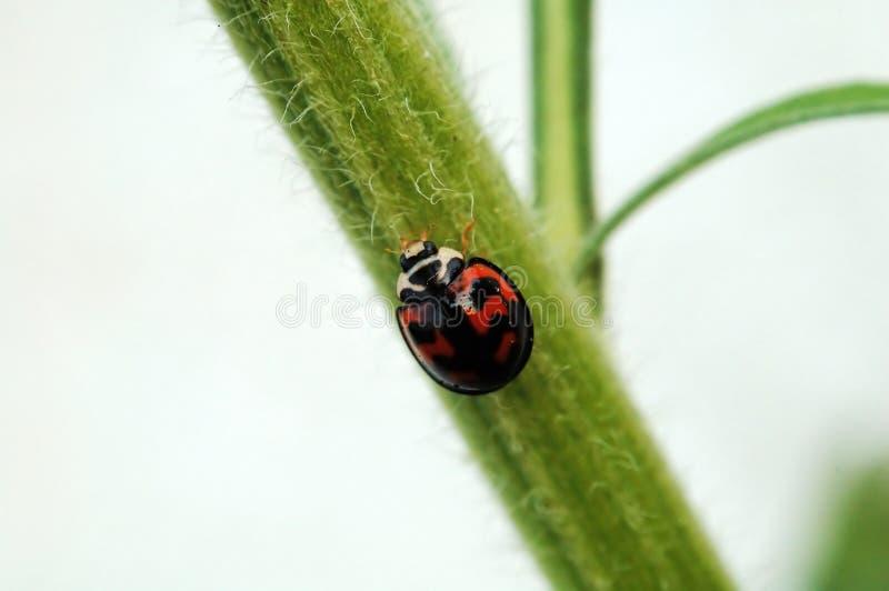 ladybird łodygi zdjęcie royalty free