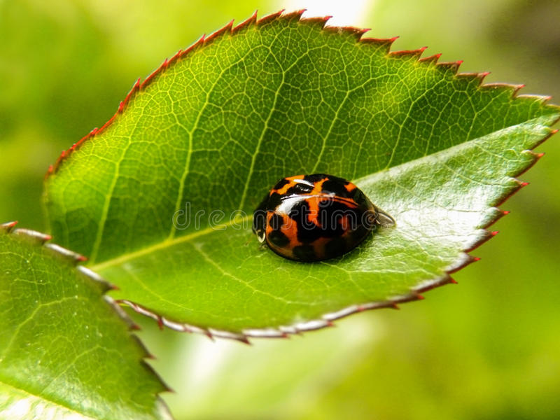 Ladybird ściga na różanym liściu 1 obrazy stock