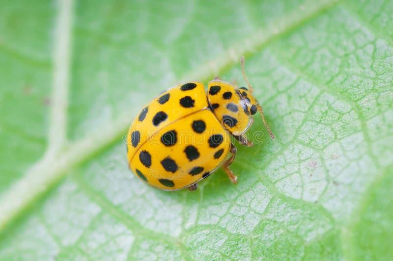 ladybird żółty fotografia royalty free