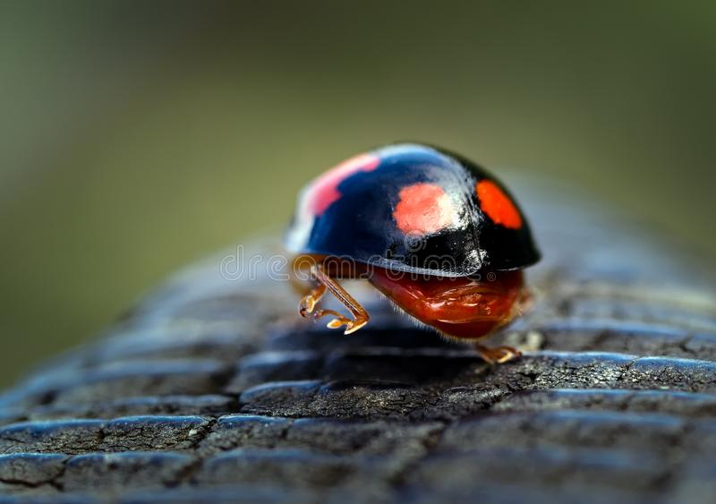 Ladybird арлекина идя прочь стоковое изображение