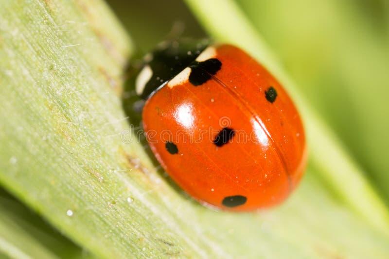 Ladybird на зеленой траве Макрос стоковые изображения