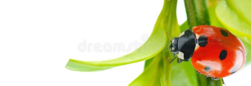 Ladybird на зеленых лист изолированных на белой предпосылке Широкое фото r стоковые изображения
