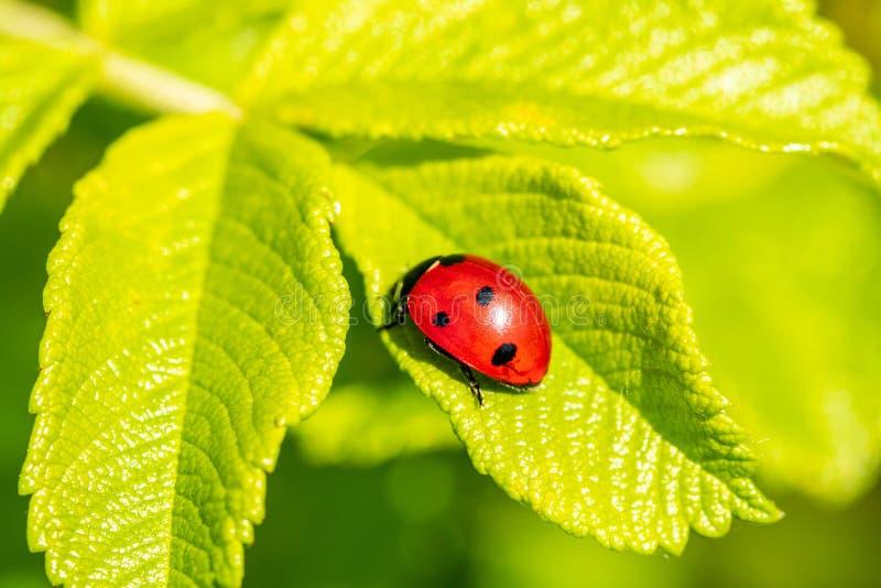Ladybird на зеленых лист стоковое фото rf