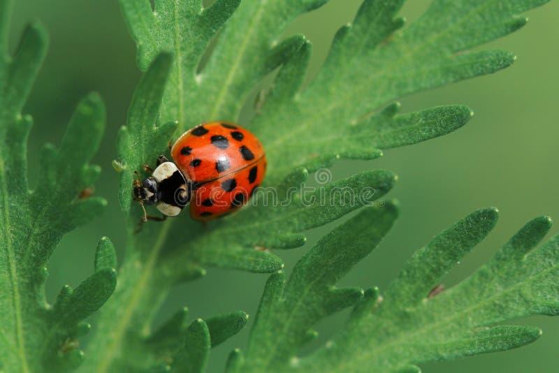 Ladybird на зеленых лист стоковые фото