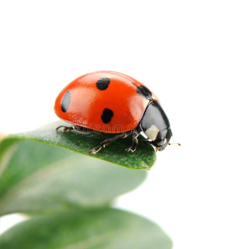 Ladybird на зеленых лист стоковые фотографии rf