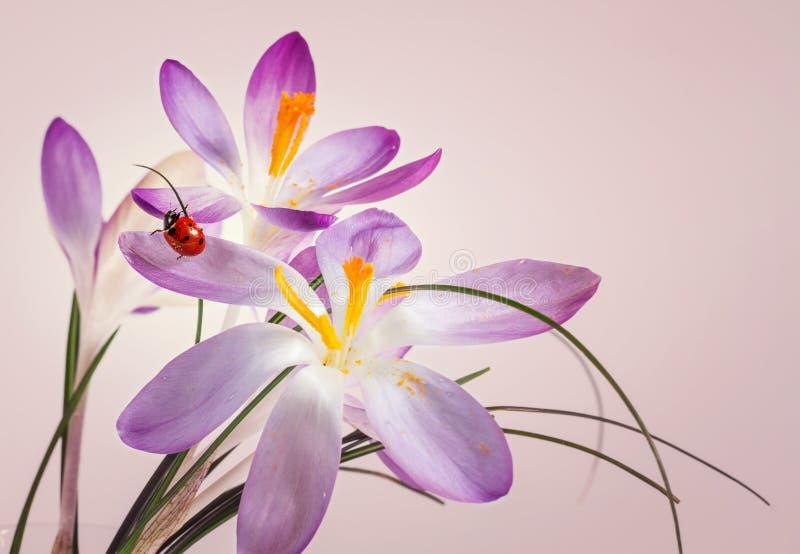 Ladybird на крокусе цветка стоковая фотография