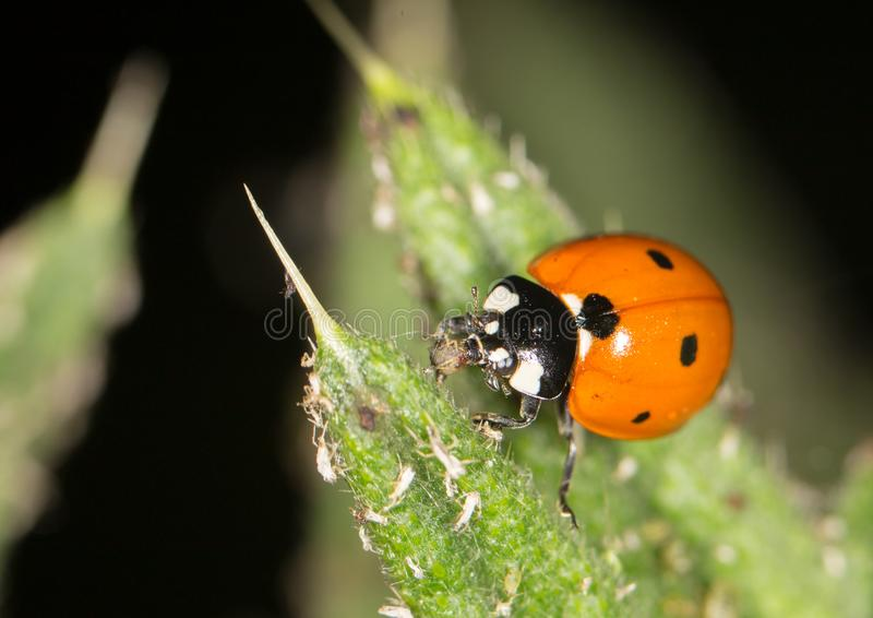 Ladybird на природе конец стоковые фотографии rf