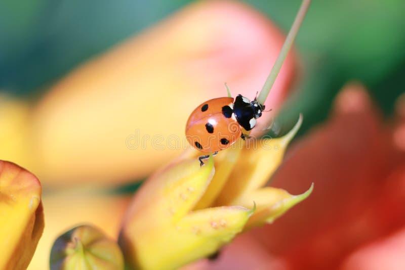 Ladybird путешествует в саде стоковые изображения