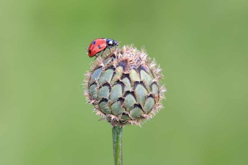 ladybird 7-пятна на бутоне thistle с ясной зеленой предпосылкой стоковые фотографии rf