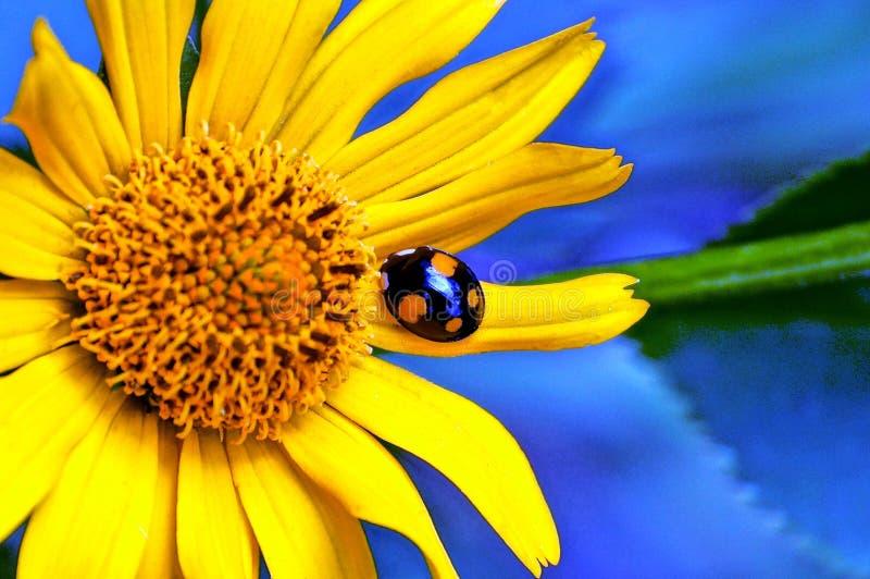 Ladybird сидит на желтом лепестке цветка в саде стоковые фото
