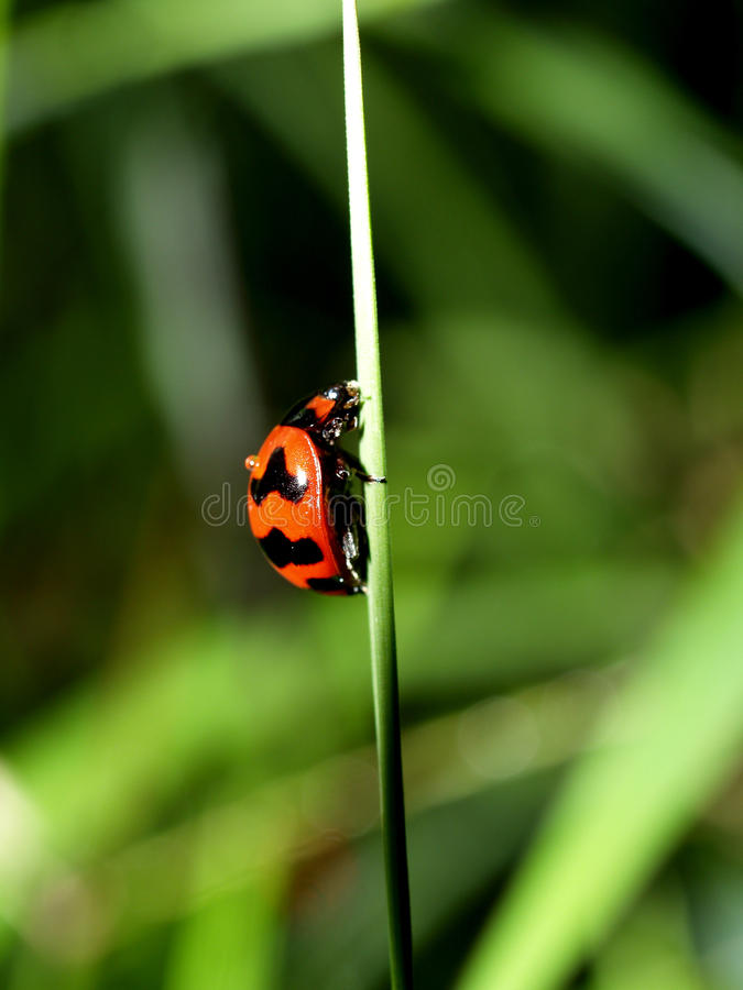 ladybird (1) punkt obrazy royalty free